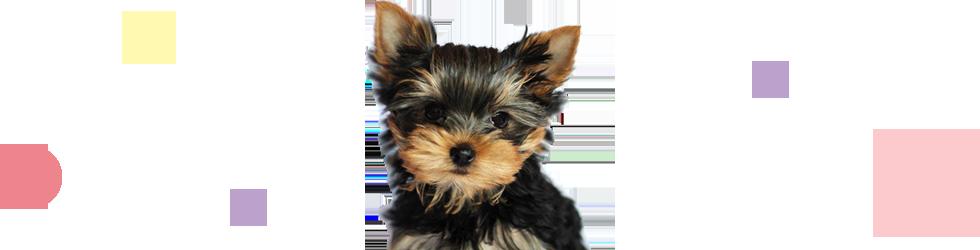 ヨークシャテリア子犬の写真