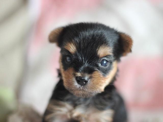 ヨーキー子犬